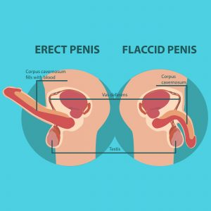 diagram of erect and flaccid penis