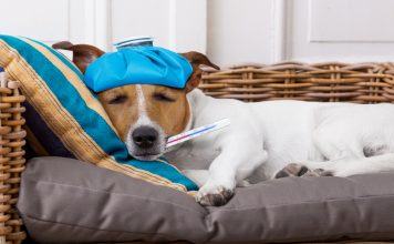 sick dog lying on couch with ice bag on forehead and thermometer